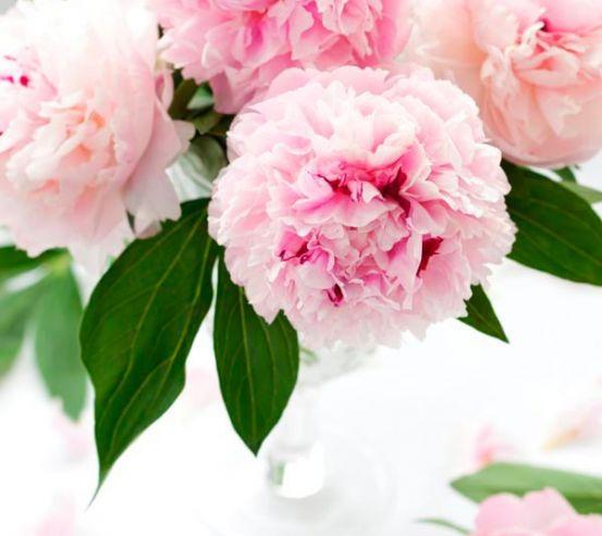 Фотообои Бледно-розовые пионы 5367