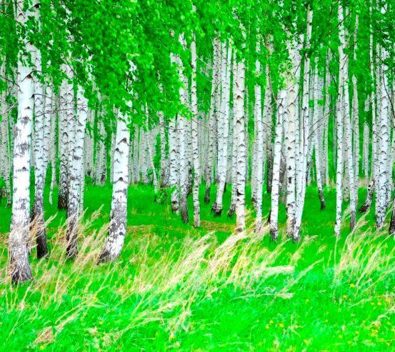 Фотообои Березовая роща, лес  5808