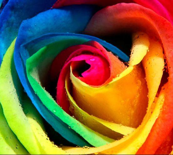 Фотообои Разноцветная роза 1128