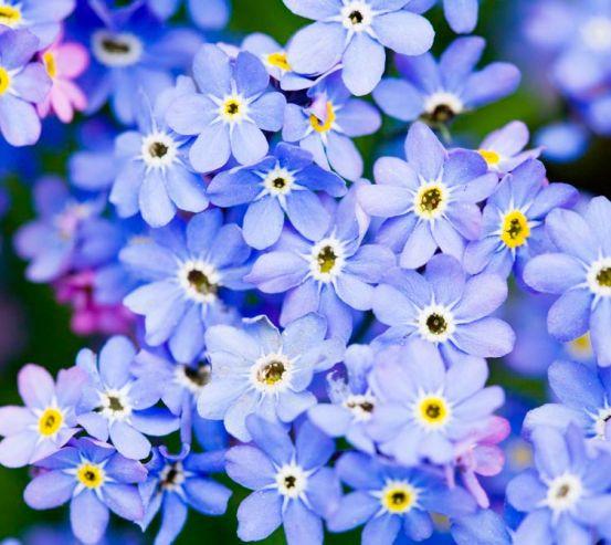 Фотообои Весенние голубые цветы 6888