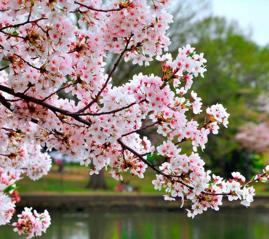 Фотообои Цветущий вишневый сад 11826