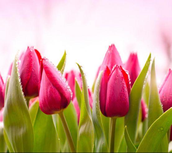 Фотообои Розово-малиновые тюльпаны 13816