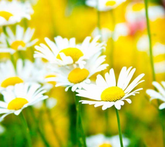 Фотообои Полевые белоснежные ромашки 1493