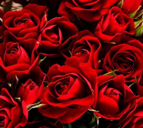 Фотообои Розы алые 8552