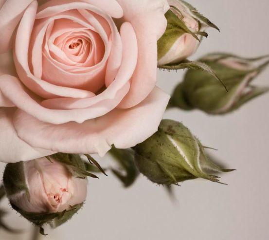 Фотообои Кремовые роза и бутоны 4863