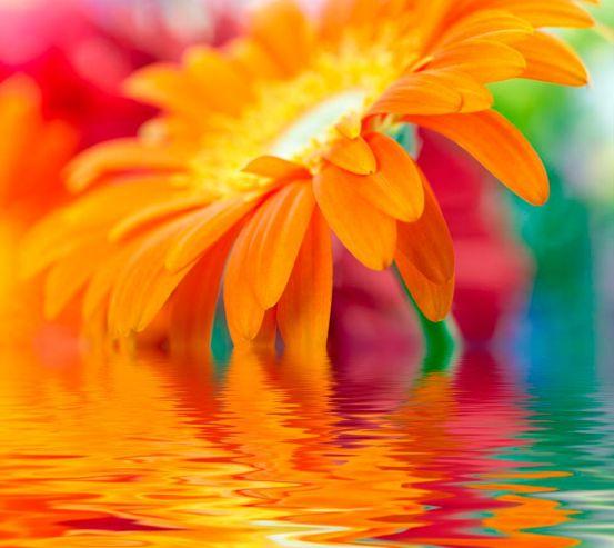 Фотообои Гербера оранжевая 3153