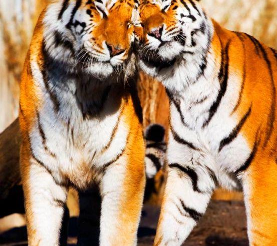 Фотообои Любовь тигров 7919