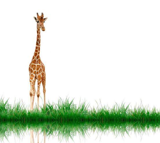Жираф біля води 6842