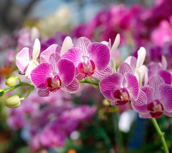 Фотообои Розовые орхидеи цветут 8412