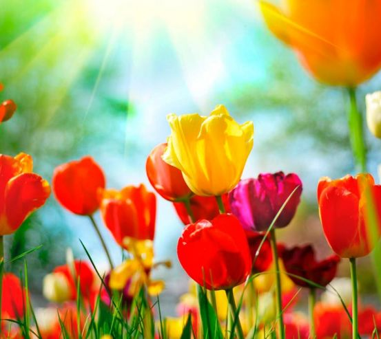 Фотообои Тюльпаны разноцветные  1309