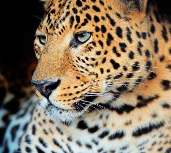 Фотообои Ленивый гепард 10624