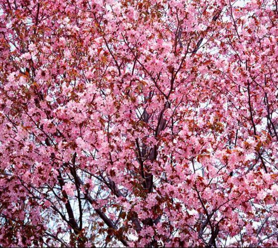 Фотообои Сакура в цвету 1099