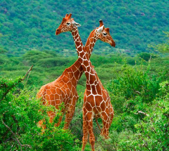 Фотообои Дружба жирафов 7032