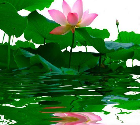 Фотообои Розовая кувшинка 1342