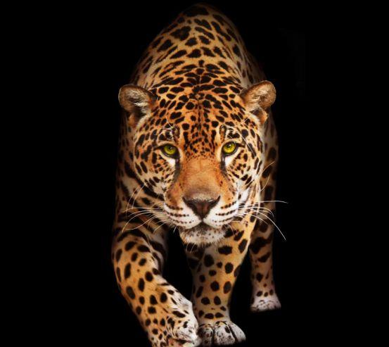 Фотошпалери леопард 20475