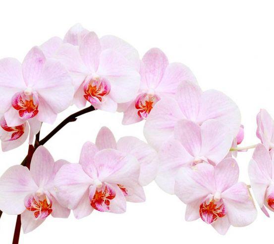 Фотообои Белоснежные цветы орхидеи 5304