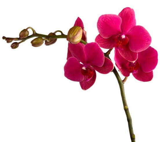 Фотообои Ветка бардовых орхидей 6223
