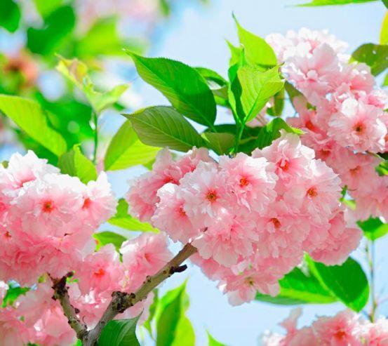 Фотообои Соцветие чайной розы 7616