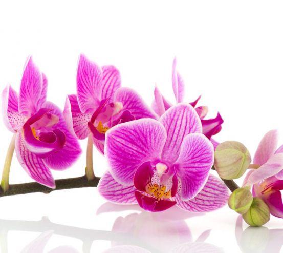 Фотообои розовая орхидея на белом фоне 20491