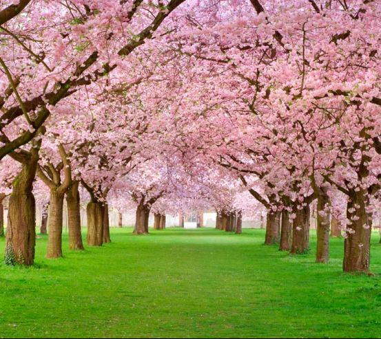 Фотообои Цветущие вишни 0737