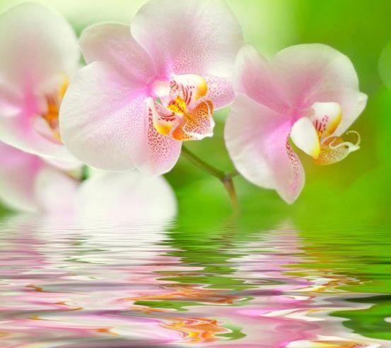Фотообои Орхидеи розово-белые 8809