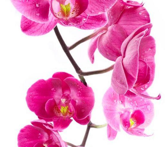 Фотообои Ветка орхидей малиновых 5988