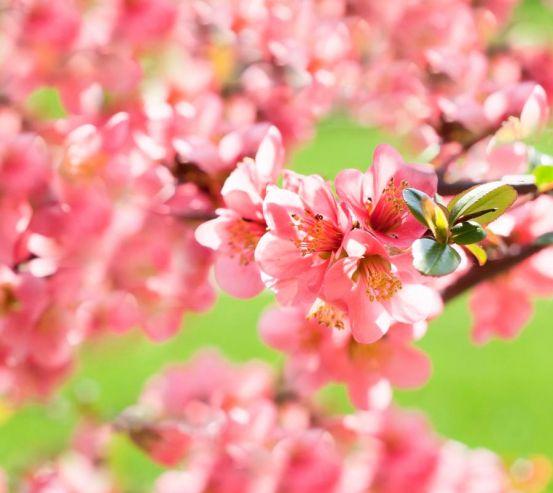 Фотообои Вишня цветущая весной 1653