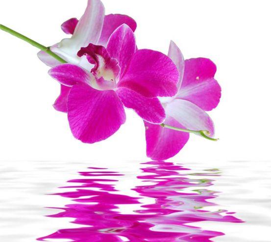 Фотообои Орхидеи цвета фусии 6468