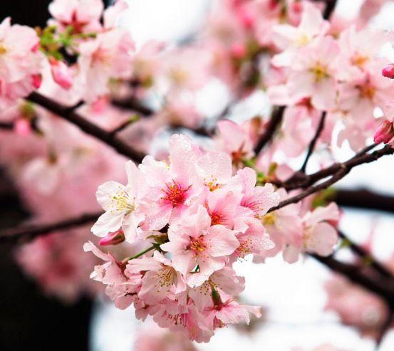 Фотообои Соцветия вишни 4057