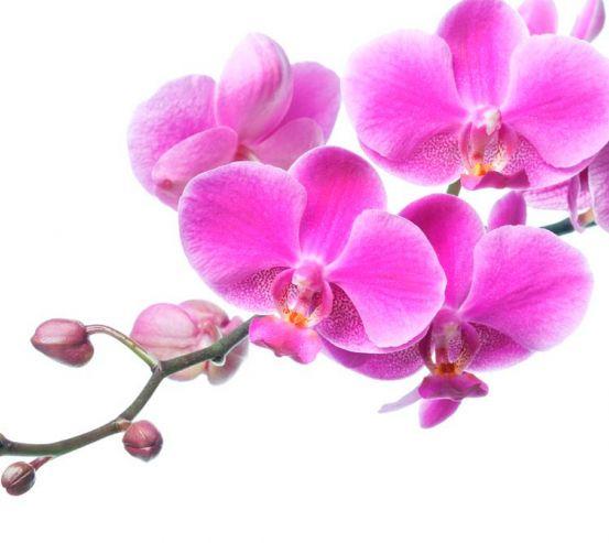 Фотообои Сиреневая орхидея 1374