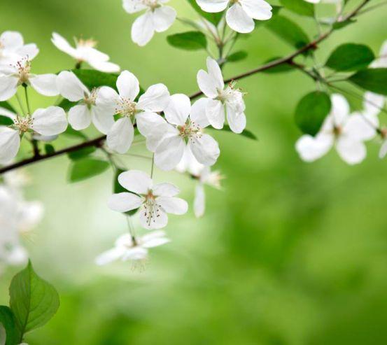 Фотообои Абрикосовые соцветия 4647