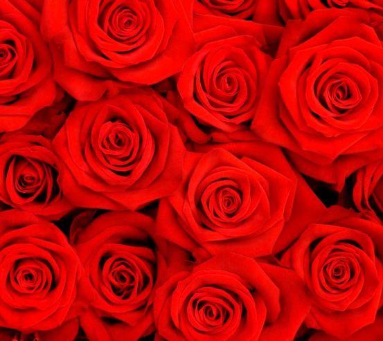 Фотообои Розы ярко-алые 6767