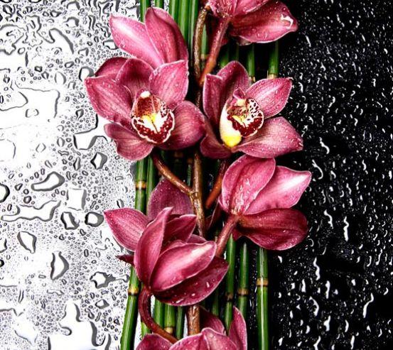 Фотообои Бордовые орхидеи 8450