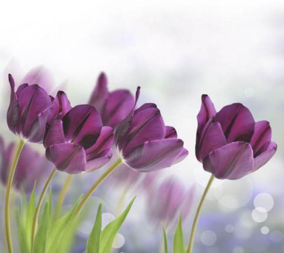 Фотообои тюльпаны 25487