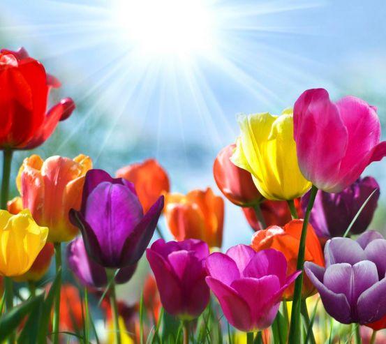 Фотообои Разноцветные тюльпаны 1123