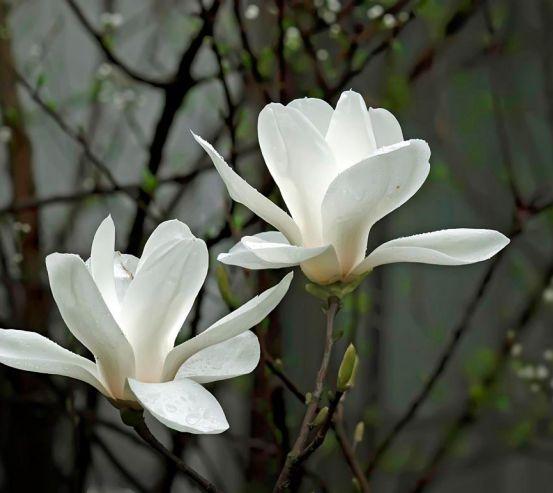 Фотообои Белоснежные цветки 4572
