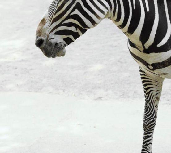 Фотообои Задумчивая зебра 0435