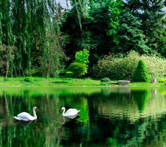 Фотообои Лебеди, вода 10443