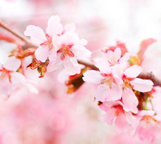 Фотообои Цветущая розовая вишня 1495