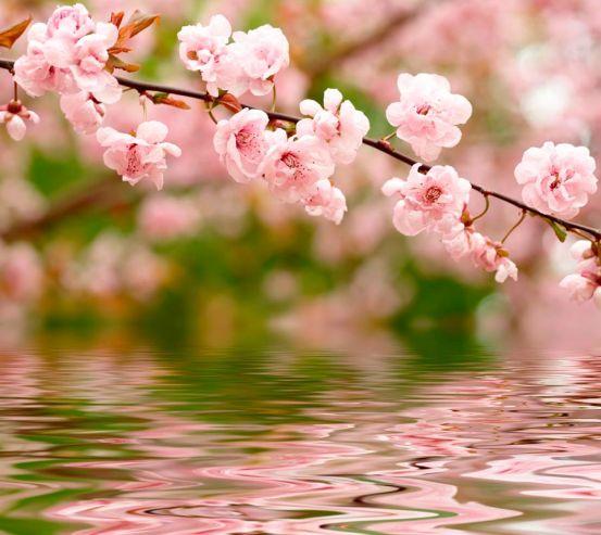 Фотообои Речная вишня цветет 1459