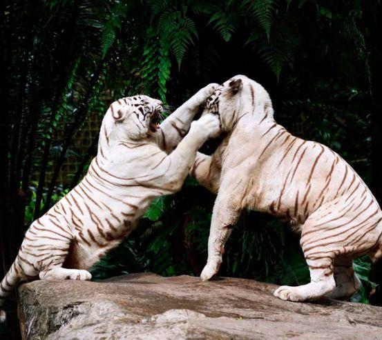 Фотообои Драка белых тигров 9845