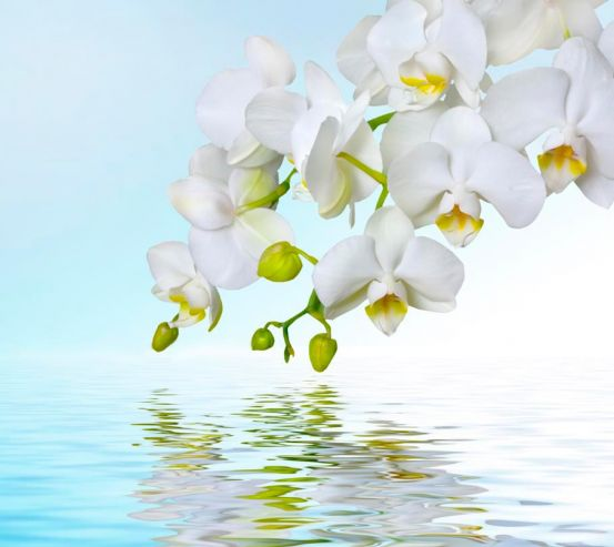 Фотообои Белые орхидеи 1357
