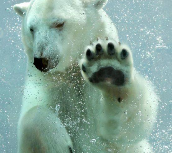 Фотошпалери білий ведмідь під водою 20371