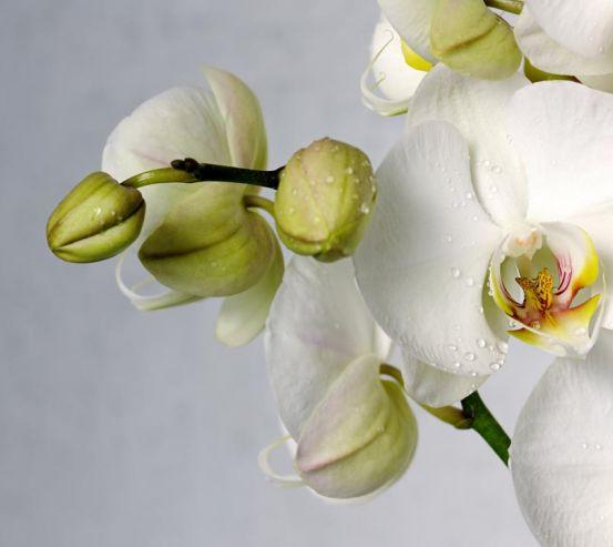 Фотообои крупная белая орхидея с каплями 20777