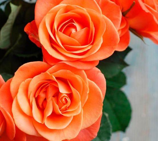 Фотообои Розы цвета кораллов 6514