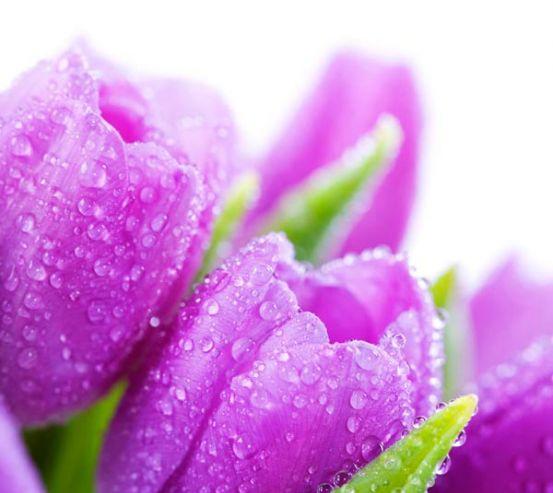 Фотообои Тюльпаны сиреневых тонов 9112