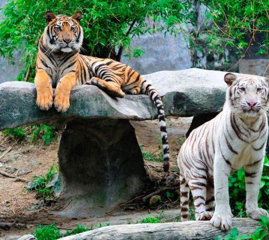 Фотообои Любознательные тигры 9847