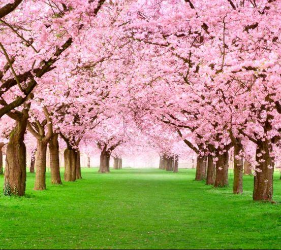 Фотообои Цветущие вишни 9824