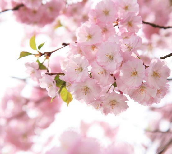 Фотошпалери квіти рожевої сакури 24649