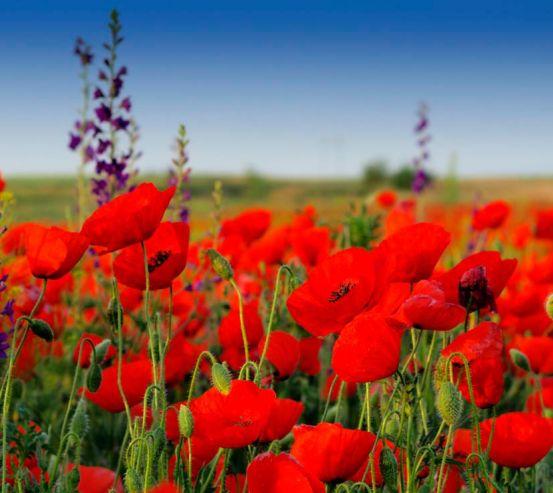 Фотообои Маковое красное поле 9366